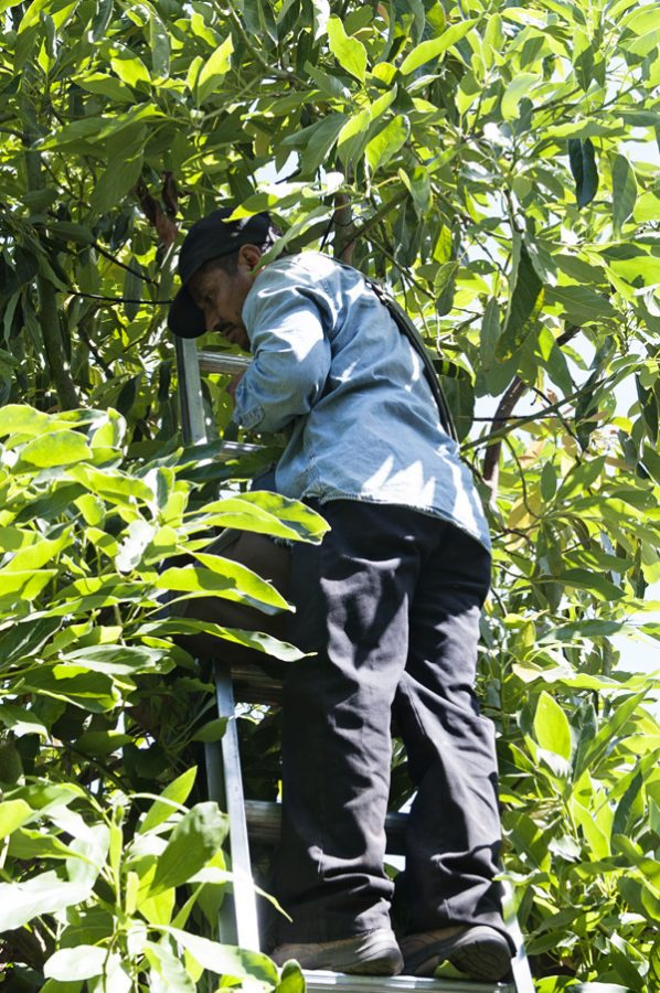 California Avocado Grove Picker