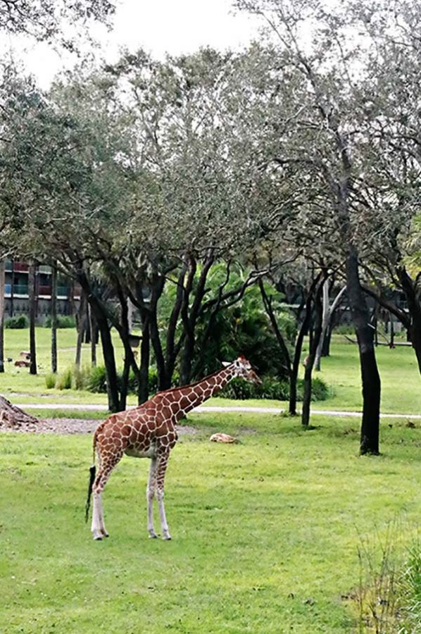 Giraffe at Disney Animal Kingdom Lodge
