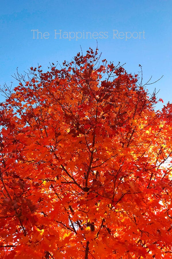 Happy things. A bright blue sky with a bright orange fall leaves colored tree.